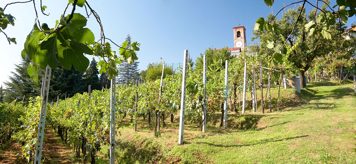 vineyard in Piedmont